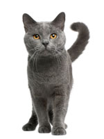 british shorthair chat