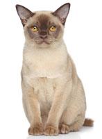 chat burmese