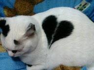 coeur sur pelage chat